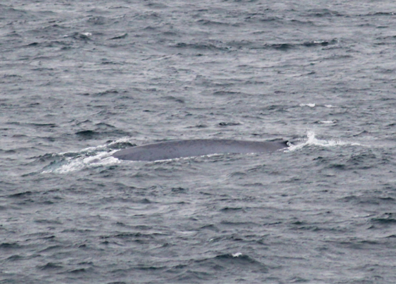 The Blue Whale preparing to dive; the mottled bluish-grey back and tiny dorsal fin are clearly visible