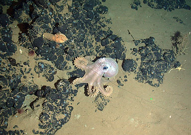 Grandledone sp. octopus