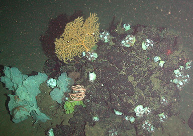 Seafan and other deepsea life on an asphalt mound