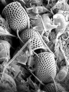The Cretaceous diatom Stephanopyxis