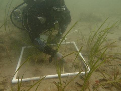 Surveying transplanted seagrass (C) University of Southampton