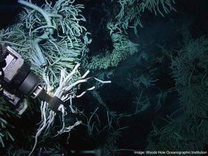 Hydrothermal vent worms (courtesy of Woods Hole Oceanographic Institution)
