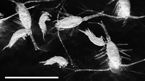 marine copepods (pictured) are frequently associated with sinking particles of detritus in the ocean. Scale bar ≈ 1mm.