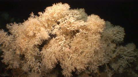 In the present-day, the cold-water coral reefs of the Mediterranean are mainly formed by the species Madrepora oculata and partly Desmophyllum pertusum / Cabliers reef - SHAKE Cruise.