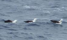 Black-browed albatrosses off the stern of the RRS James Cook