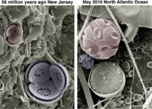 Fossil and modern coccolithophore cells of species Toweius pertusus and Coccolithus pelagicus (courtesy of Paul Bown, UCL)