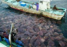 Giant Jellyfish (Nemopilema nomurai) clogging fishing nets in Japan (courtesy of Dr Shin-ichi Uye)