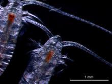 The Calanus copepod (image: Daniel Mayor)