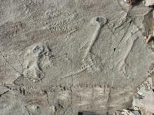 Ediacaran Biota fossils