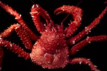 The king crab species Paralomis elongata from Bouvet Island, Southern Ocean