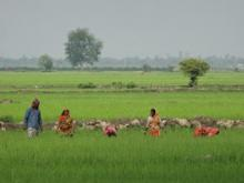 Paddy fields in the Delta