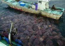 Giant Jellyfish clogging fishing nets in Japan (courtesy of Dr Shin-ichi Uye)