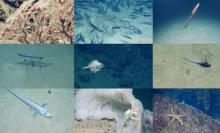 Marine life of the Gorringe Bank