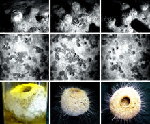 NOC's historic observations of the glass sponge Pheronema carpenteri in the Porcupine Seabight, NE Atlantic. Top row: original observations from 1983/4 (epibenthic sledge camera system); middle row: as observed in 1991 (WASP camera system); bottom row: specimens recovered in 1991, now held in the Discovery Collections.