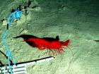 A 'big red prawn' formally known as Cerataspis monstrosus – but can you be sure just from a photograph?